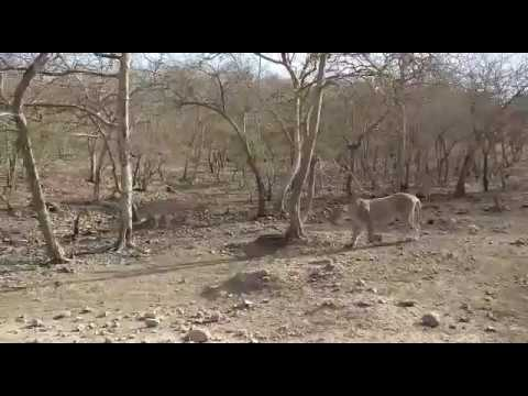 Lion Safari Tour at Gir Forest Gujrat