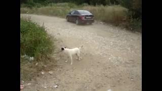 Собака бегает за своим хвостом