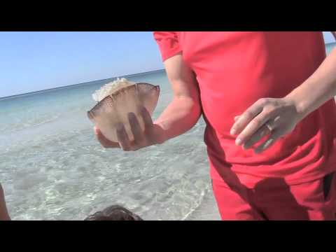 Cannonball Jellyfish Panama City Beach