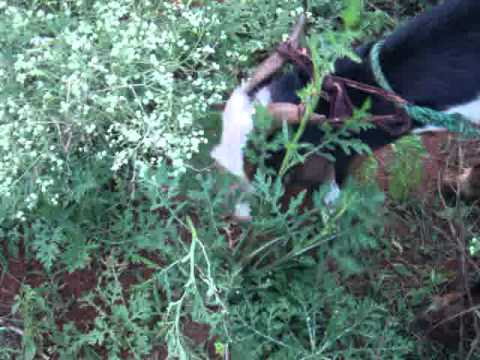 Goat feeding Parthenium grown at Jaffna, Sri Lanka (gm).MPG