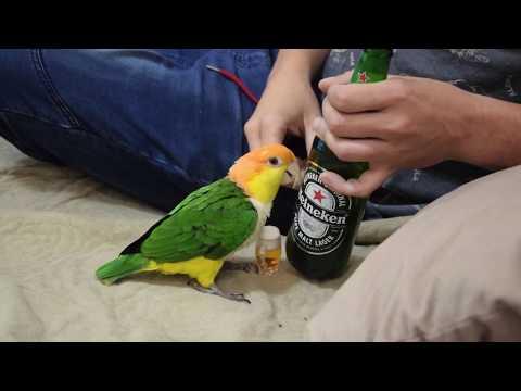 Papuga -Najlepszy przyjaciel faceta / Caique Parrot – Man's best friend