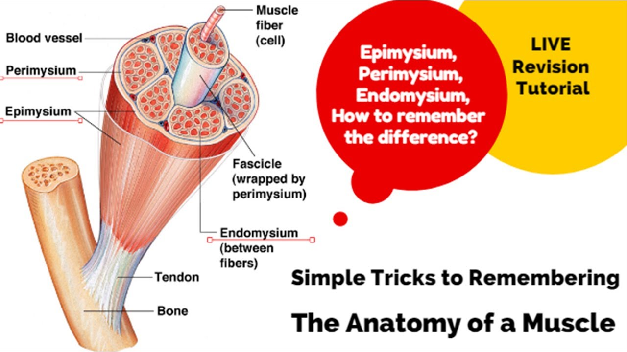 Level 3 A P The Anatomy Of A Muscle Youtube