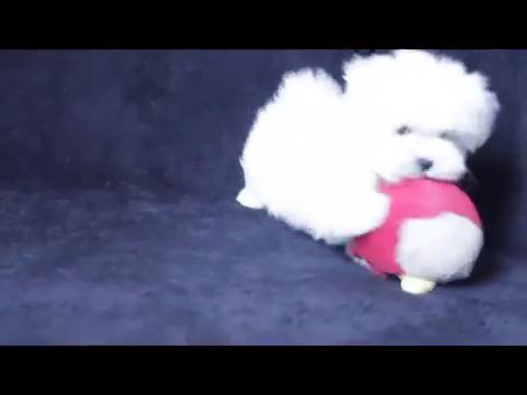 Maltese Puppies for sale - Loki