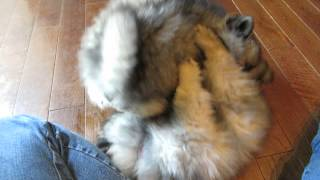 Holly's Keeshond puppies 7 weeks old.