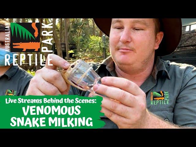 VENOMOUS SNAKE MILKING (LIVE FOOTAGE) | AUSTRALIAN REPTILE PARK
