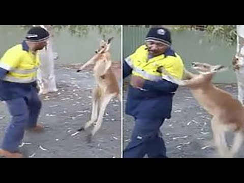 Kangaroo has a street fight with a builder in Australia