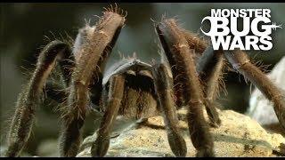 Tarantula Collection   MONSTER BUG WARS