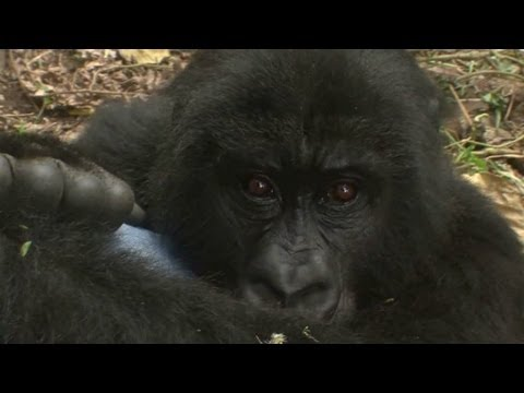 Orphaned gorillas being raised amid Congo's chaos.