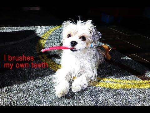 Dog brushes own teeth - 自分で歯磨きをする犬