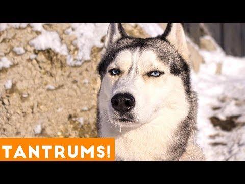 Funniest Pet Tantrum Compilation Ever October 2018 | Funny Pet Videos