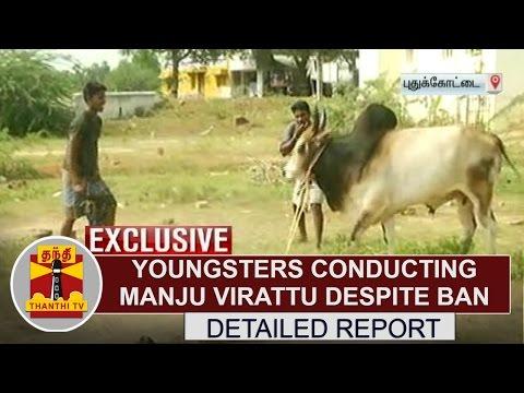 Thanthi Exclusive   Youngsters conducting Manju Virattu despite ban at Pudukkottai   Thanthi TV