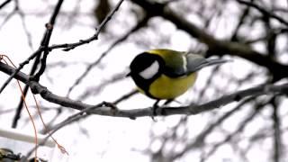 Итак, о птичках. Синицы - Tits, tomtits (Parinae) - Nikon D5100 Full HD