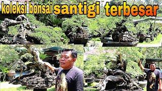 Review Harga Bonsai Santigi Dari Ratusan Ribu Sampai RATUSAN JUTA