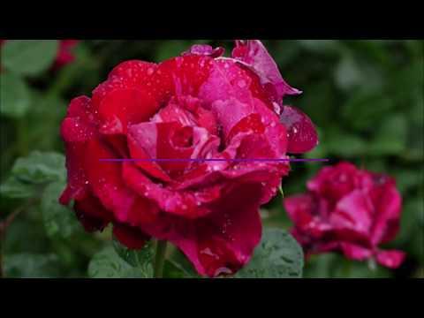 Ароматные розы. Часть2. Питомник 'Сад Вашей Мечты'