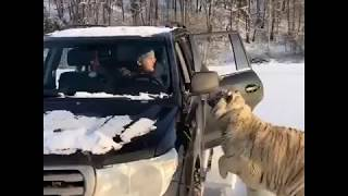 Raussian guys attacked by 3 Tigers