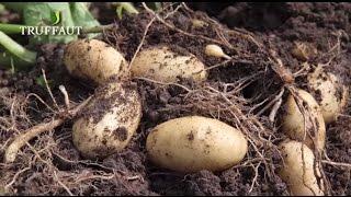 Comment planter des pommes de terre ? - Jardinerie Truffaut TV