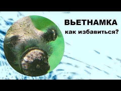 Вьетнамка в аквариуме. Как избавиться от водорослей