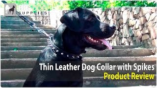 Labrador Retriever, Bullmastiff, Pit Bull And Black Russian Terrier Wearing Thin Spiked Dog Collar