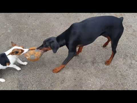 Jack Russell vs Dobermann