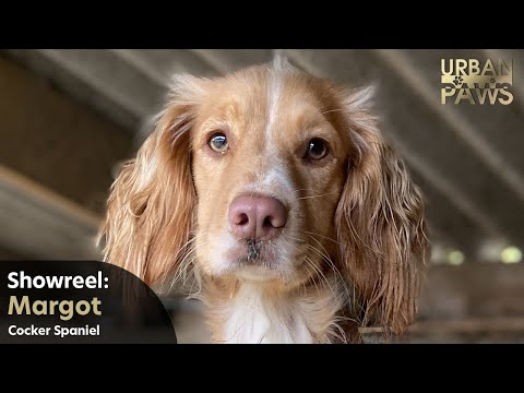 Dog Training: Margot (Cocker Spaniel) - Swimming, Jump into arms, Jump onto object