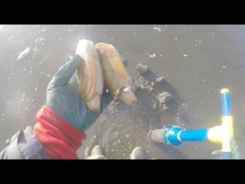 Clamhawk (blue) Best Razor Clam dig of 2018 Westport Washington Twin Harbor beach