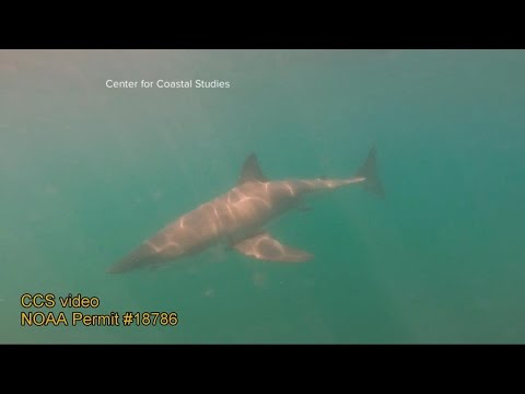 Beaches on Cape Cod Closed Due to Great White Shark Activity