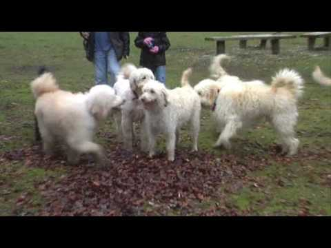 labradoodle puppies one year on.wmv