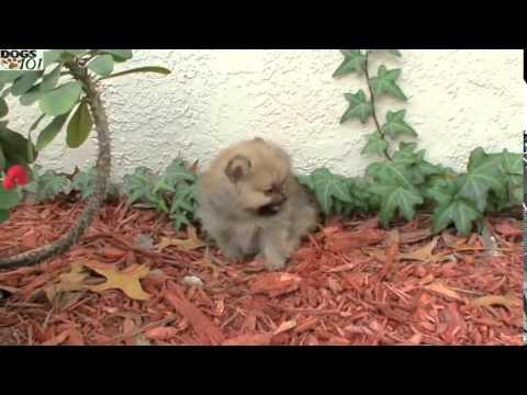 Dogs 101 Pomeranian Eng Youtube