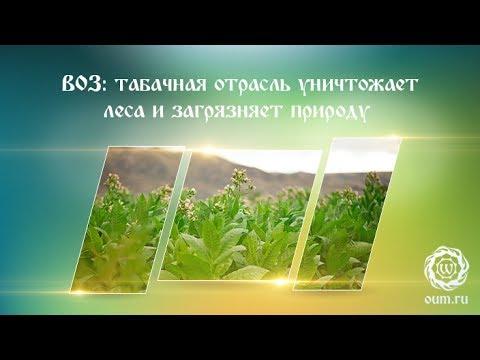 ВОЗ: табачная отрасль уничтожает леса и загрязняет природу
