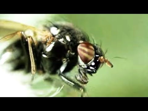 Facts About Flies - Secret Nature | Fly Documentary | Natural History Channel