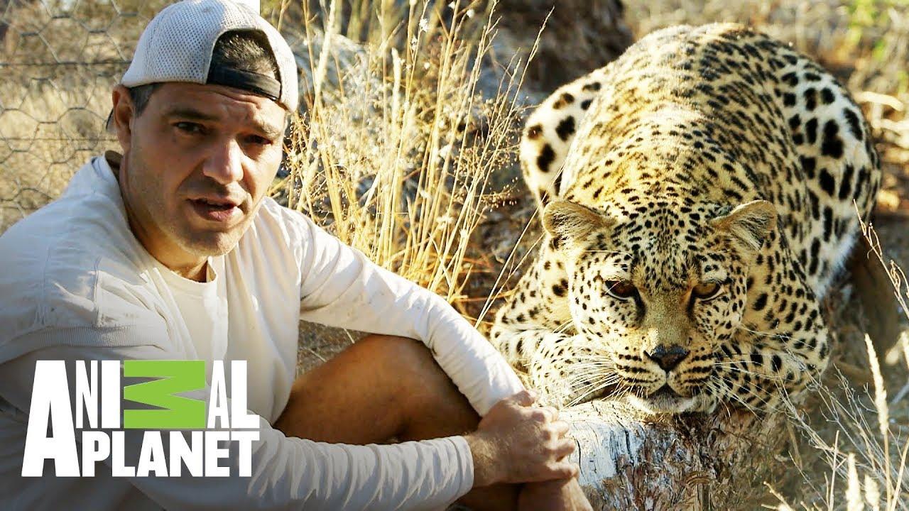 Leopardo Panthera Pardus 2020