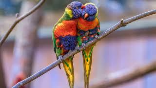 Картинка птицы. Многоцветный лорикет, попугаи, птицы.
