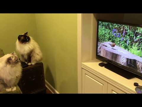 "Ragdoll Cats Charlie and Trigg Watch TV on Samsung Smart TV 27""  - ねこ - ラグドール - Floppycats"