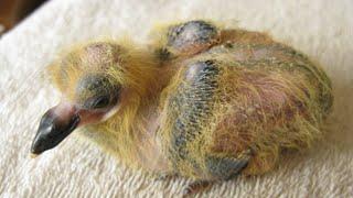 как выглядит птенец голубя которому всего около недели.looks like a dove chick.