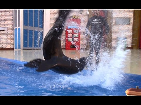 Sea Lions Tonite 2016 (Full Show) at SeaWorld San Diego (6/19/16)