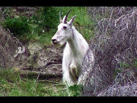 Close Look At Canadian Rockies Mountain Goat On A Hot Day