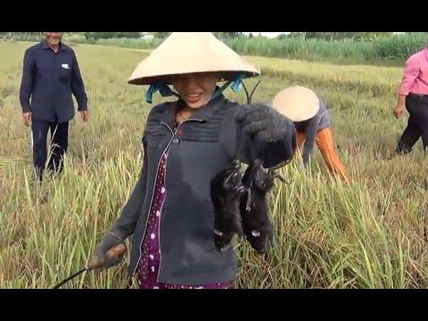 Bắt được Chuột Cống Nhum khi cắt lúa ở Hậu Giang