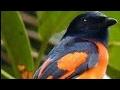 Burung Bara Api Gacor