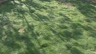 видео Мшанка шиловидная - выращивание, уход, отзывы