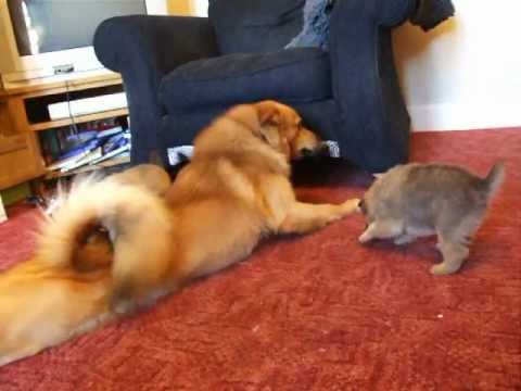 Arras the Finnish Spitz with his kids!