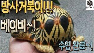 아기 방사 거북이가 수입 되었습니다~!  싸이테스 1급…