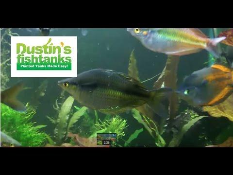 How To Keep Rainbowfish: Melanotaenia Parkinsoni Rainbowfish Species Sunday