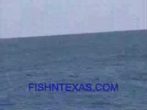 Killer Whales In Texas - Gulf Of Mexico