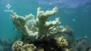 Australia  allarme sbiancamento per la barriera corallina