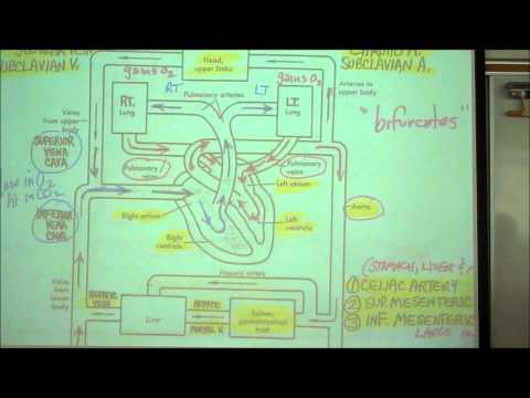 lab 9 digestive system part 1 anatomy Digestive system anatomy - physiology and anatomy  ap 150 digestive system anatomy review 1  to what part of the body cavity is most mesentery attached 5.