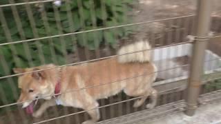 飼育員のおねえさんに遊んで欲しい川上犬のさくらちゃん Japanese Kawak...