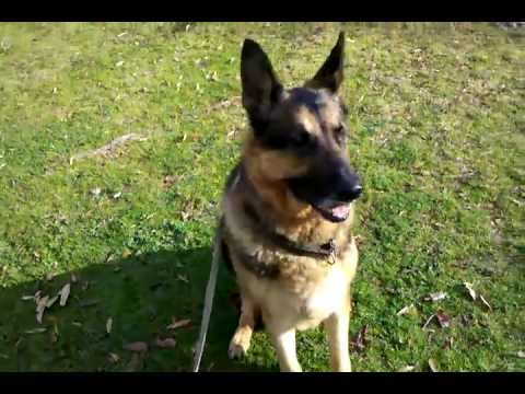 #2. Dog Eating Tuna Fish And Rice For Breakfast. Tyson The German Shepherd Wonder Dog Eating Food.
