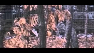 Козел Тимур и тигр Амур охладели друг к другу