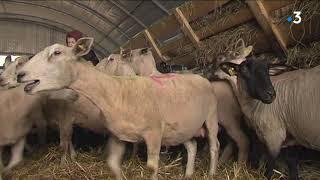 Quesques : Alain le bélier va représenter les moutons boulonnais au Salon de l'Agriculture