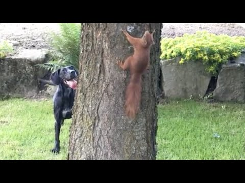 Pets VS Squirrels Compilation! (Cats and Dogs chasing squirrels)
